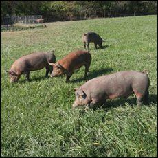 organic-pork-1