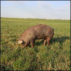 organic-pork-3